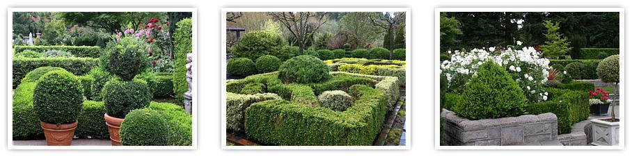 globe boxwood topiary wholesale boxwood boxwood hedges landscape boxwood