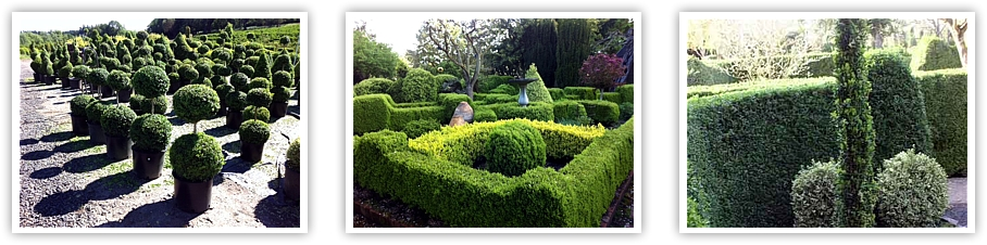 Boxwood Garden Dos And Don Ts Of Boxwood And Topiary Care