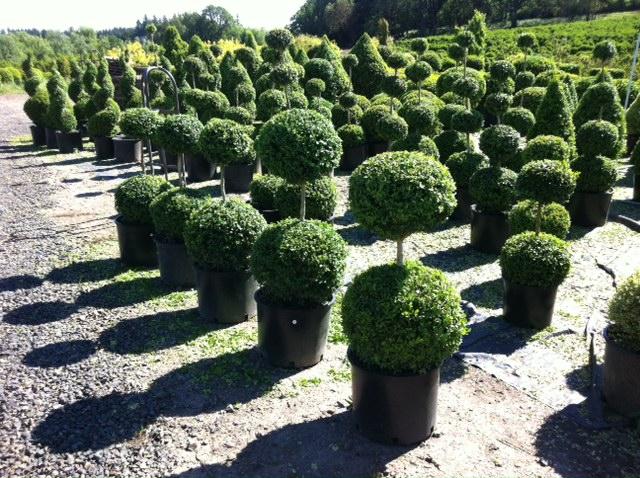 Boxwood Garden Topiary
